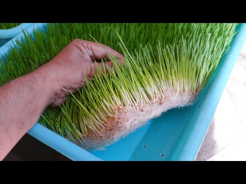 How to Grow Wheatgrass at  Home by Soil Less Easy Method