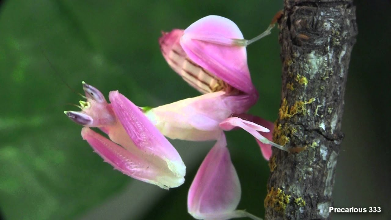 Orchid mantis super pink youtube dhlflorist Image collections