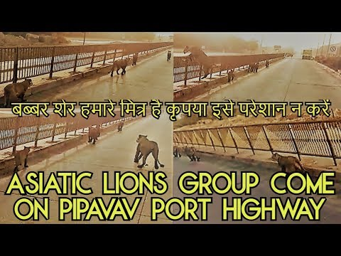 Asiatic lions group come on Pipavav port highway बब्बर शेर ह