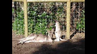 Baby kangaroo entering his mother