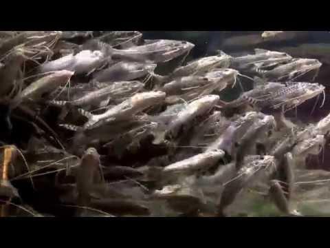 Pictus Catfish At The Shedd Aquarium