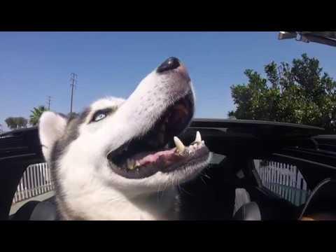 MY HUSKY AT THE PET FOOD EXPRESS DOG WASH