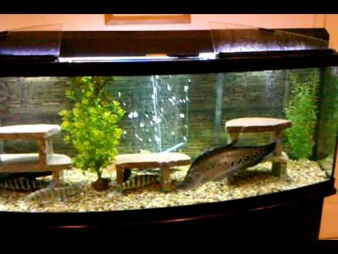 gallon bow front aquarium, oscar, red tail, clown knife fish, big fish