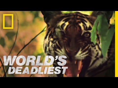 Tiger vs. Monkeys | World