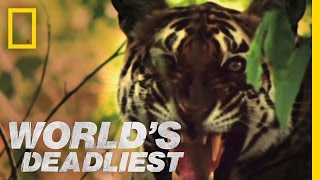 Tiger vs. Monkeys | World's Deadliest