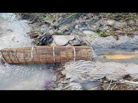 Traditional Khmer Fishing-How To Catch A Lot Of Fish At Rice Field By Traditional Fish Trap