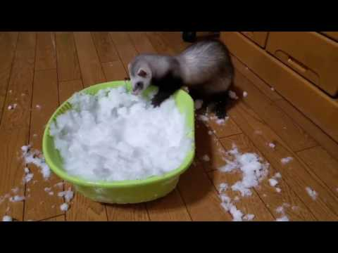 Ferret playing in snow