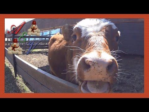The cow licked the camera. Корова облизала видеокамеру.