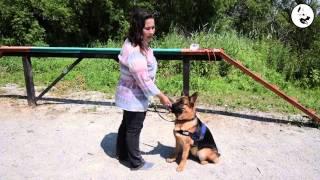 Основы дрессировки щенков и собак. Зрительный контакт