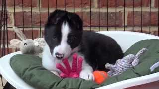 Border Collie Puppy - Crate Training