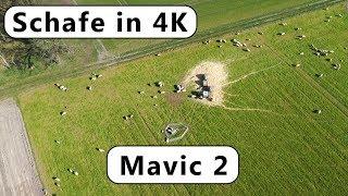 DJI Mavic 2 Pro/Zoom 4K Ultra HD Film - 🐑 Schafe auf der Weide