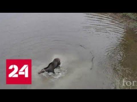 Уникальные кадры из Канады: схватка волка с лосихой на мелководье - Россия 24