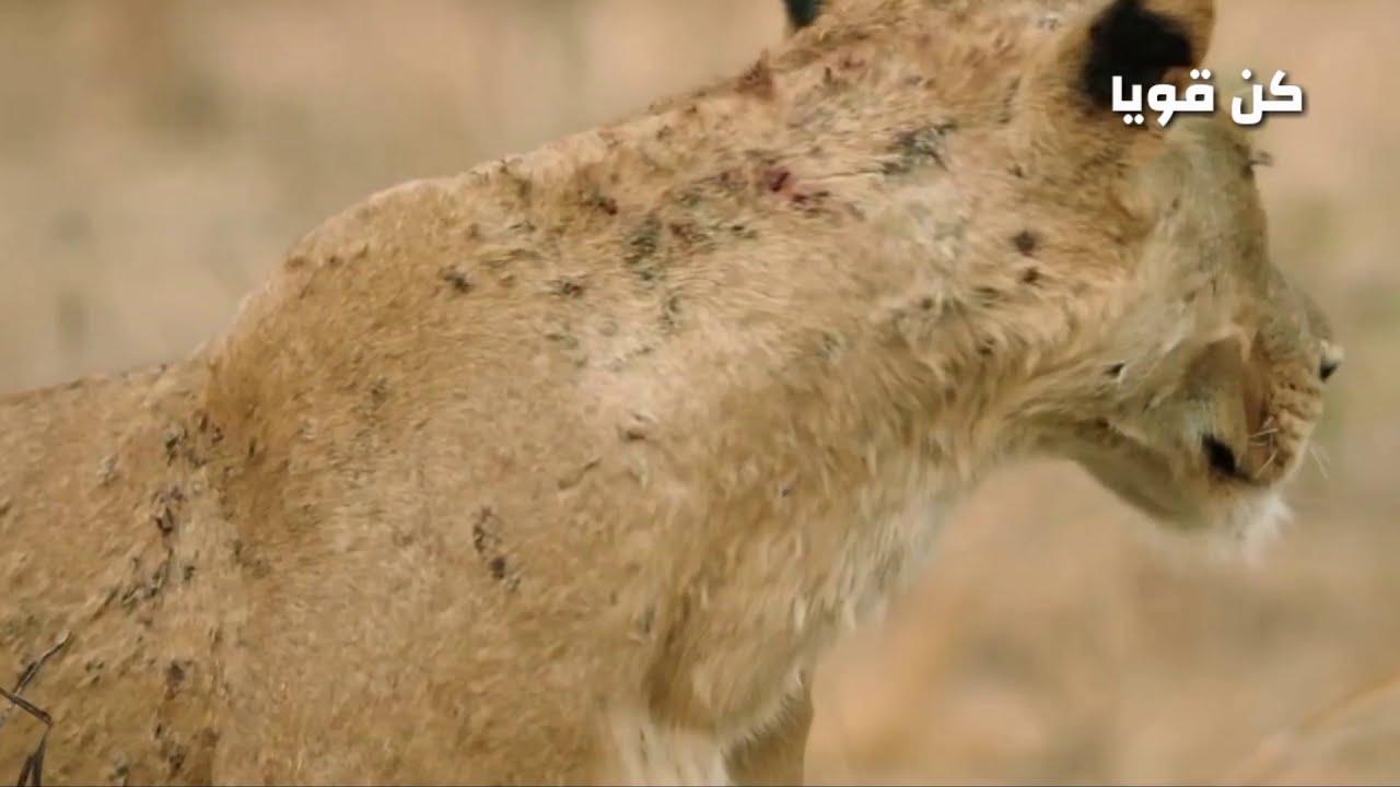 اللبوة الأم تدافع عن ثعلب صغير بشكل لا يصدق / عالم الحيوانات المفترسة