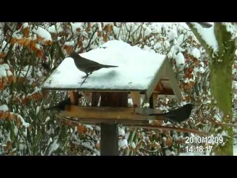 blackbirds in winter singv gel im winter youtube. Black Bedroom Furniture Sets. Home Design Ideas