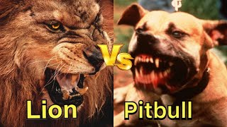Pitbull vs Lion Real Fight - Lion vs Pitbull animal fight 2019
