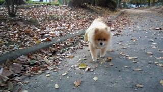 Walking : My Beloved Pomeranian, Chacha.