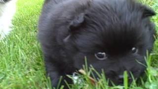 Black Pomeranian Puppy Four Weeks Old!