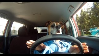 Driving Dog! Dog with Hands Looks Super Cute!