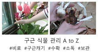 (구근식물) 꽃이 지면 해야하는 일. 구근식물 수확, 관리, 보관법