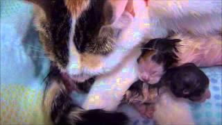 【感動】赤ちゃん 猫 出産シーン