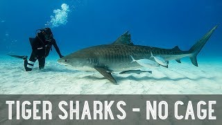 NO CAGE  Diving With TIGER SHARKS!! /// WEEK  108 : Tiger Shark Beach