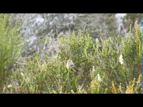 American Bushtits Forage in the Chaparral