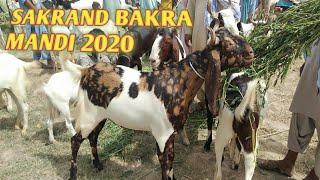 Sakrand Bakra Mandi latest update 2020 bakra Eid 2020