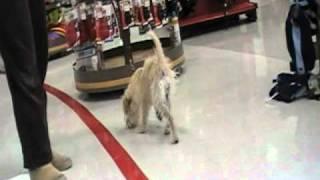 Dec 23 2010 Mandy The Wheaton Yorkie Terrier Mix Girl Wag On Inn Rescue.mod