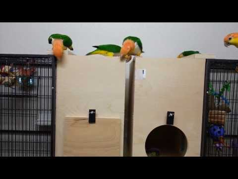 My caique parrots and their new boxes