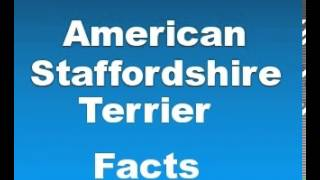 American Staffordshire Terrier Facts - Facts About American Staffordshire Terriers