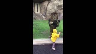 Lion attempts to POUNCE on little boy but slams into the enclosure glass [FULL VIDEO] - ORIGINAL(Lion Attacks a Child in Zoo Park | WOW ! Enormous lion POUNCES at two year old boy in zoo after youngster turns his back but smashes head Lion at Japan ..., 2016-06-04T15:07:09.000Z)