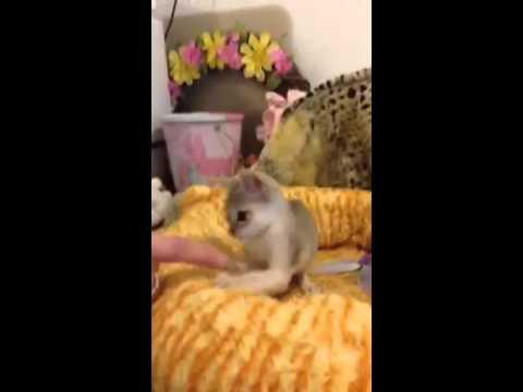 Deciding which Singapura Kitten to Get Pt. 4 (Under 1 lb) - (Smallest Cat Breed!)