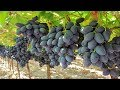 WOW! Amazing Agriculture Technology - Grape