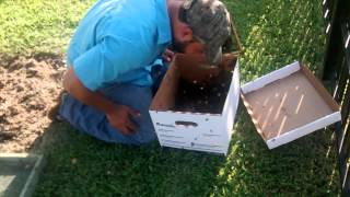 Luis Slayton saves a swarm of bees from a tree in Donna,TX. He mana...