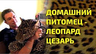Домашний питомец  - ЛЕОПАРД ЦЕЗАРЬ / HOME PETOMETER - LEOPARD CAESAR