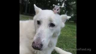 Dog Raises A Baby Opossum After Its Mother Was Killed By A Car