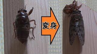 夏祭の帰路で、セミの幼虫を発見! ゆごサンドはどうしてもセミに変化す...