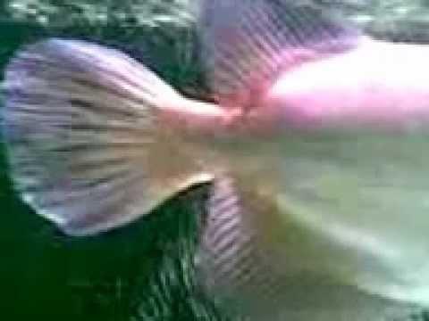 ปลามังกรเขียว.3gp