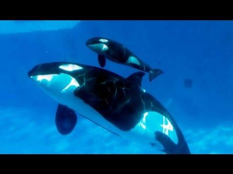Amazing Orca Killer Whales In The Wild [Wild Ocean Documentary]