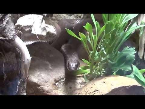 Rufous Beaked Snake (Rhamphiophis rostratus) זעמן מזרח אפריקאי