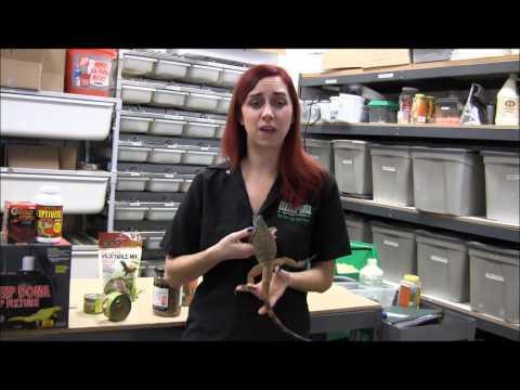 Basic Iguana Care