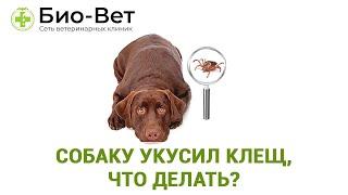 Собаку укусил клещ, что делать? Ветеринарная клиника Био-Вет.