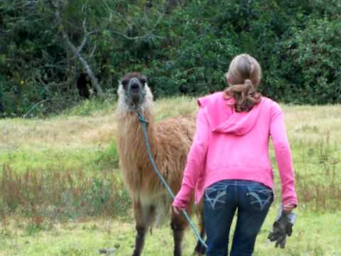 Llama Spits in Kid's Face at Zoo (Video) - Daily Picks and Flicks