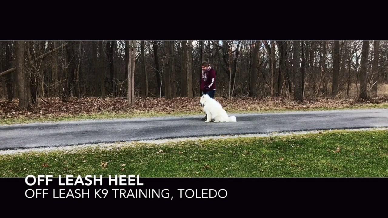 Dog Training The Samoyed Akela Before After Two Week Board And Train Youtube