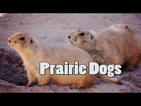 Prairie Dog Care