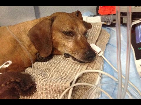 Dog Poisoned!  Do NOT Buy Rat Poison, Roundup or any other Toxic Substance!