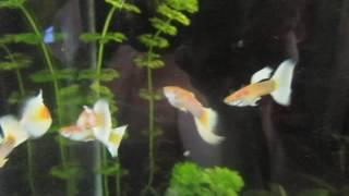 ГУППИ платиновые альбиносы