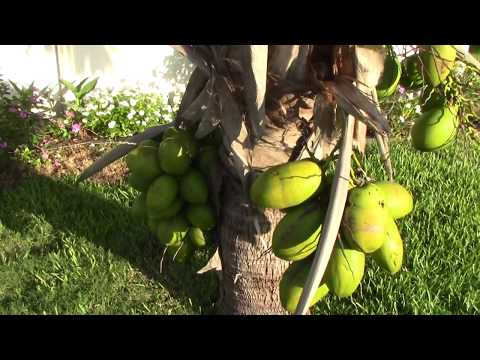 EYBY - Coconut Tree Growing - Dropping Bombs and Growing Fronds