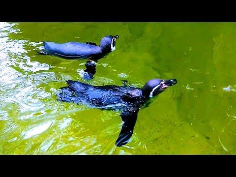Как плавают пингвины видео