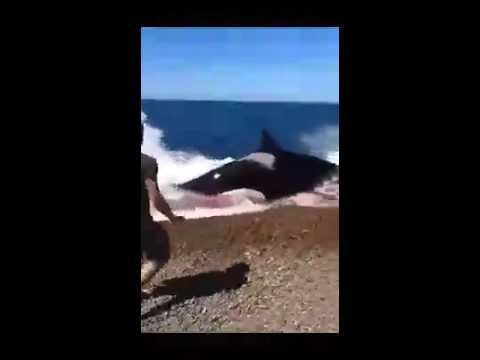 Killer Whales Attack on Shore - Killer Whales Attack a Seal